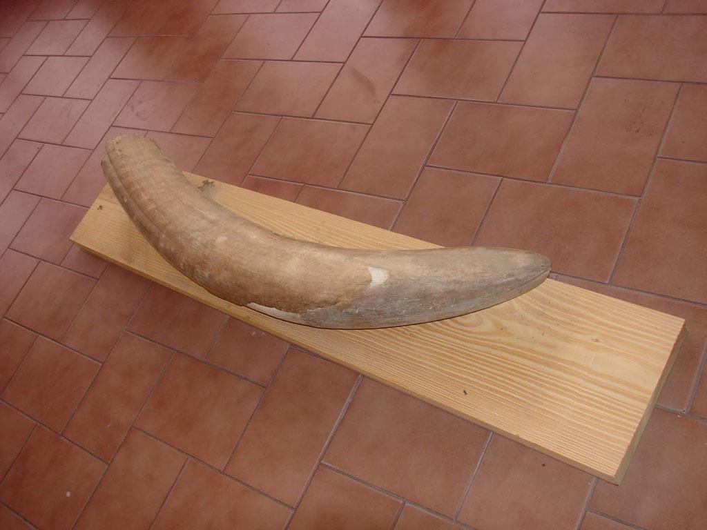 Colmillo de stegomastodon encontrado en Daireaux. Tiene una longitud de 1,30 metros.