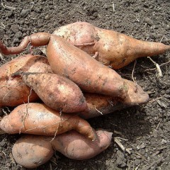 Cosecha de batatas de Familias Unidas